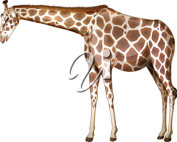 Illustration of a tall giraffe on a white background