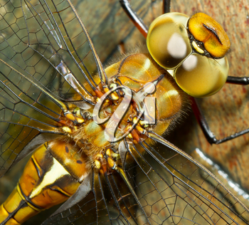 A close-up of a dragonfly with a wooden background