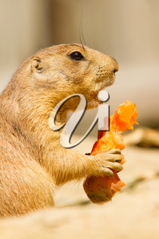 A prairie dog is eating a carrot