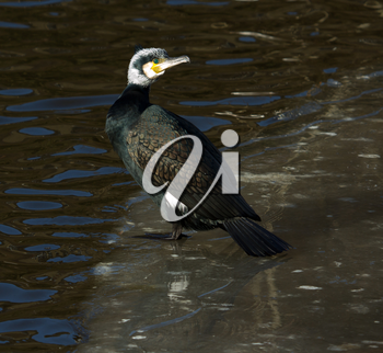 A cormorant is sitting on the ice