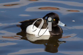 Male Tufted duck swimming on a lake