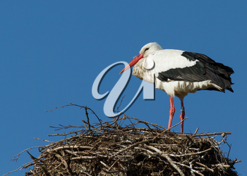 A single stork in an old tree