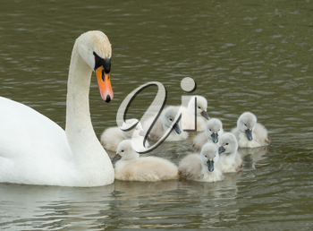 Cygnets are swimming in the water with their parent