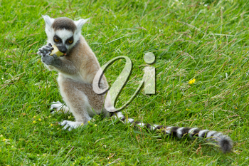Young ring-tailed lemur eating a piece of fruit
