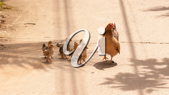 Adult hen and her newly hatched chickens on a concrete path