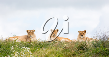Three female lions resting in the fresh grasss