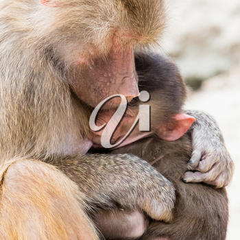 Baboon mother and her little one, natural habitat