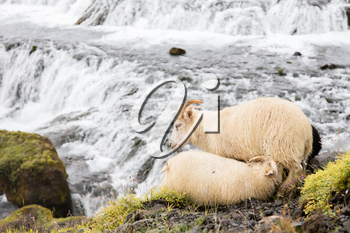 Young sheep drinking - Typical Icelandic sheep - Waterfall in background