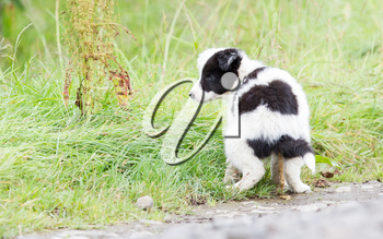 Small Border Collie puppy on a farm, brown eyed, pooing