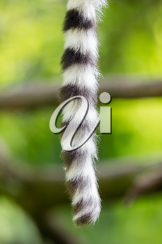 Close up of a ring-tailed lemur tail texture, macro, black and white