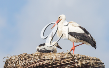 White stork sitting on a nest, the young ones are a few weeks old now