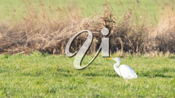 Image of a great white heron, selective focus