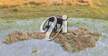 Elephant with young crossing water in the Okavango delta (Botswana), aerial shot