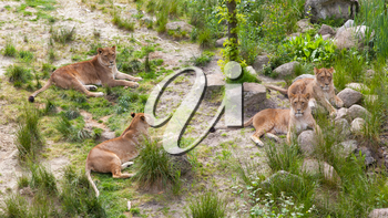 Large lions in a bright green environment
