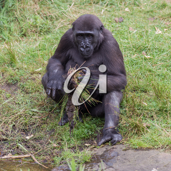 Young gorilla discovering it's surroundings, playing at the waterside