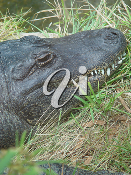 Alligator Pictures and Photos