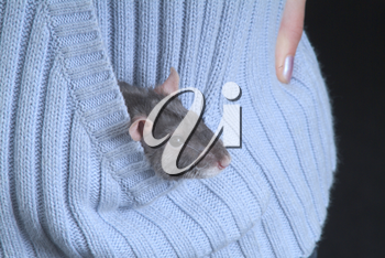 Stock Photo of a Mouse in a Pocket