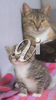 Stock Photo of a Tabby Kitten and Her Mother