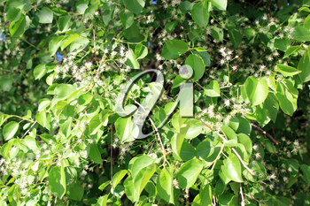 Blossoming tree of pear and green leaves
