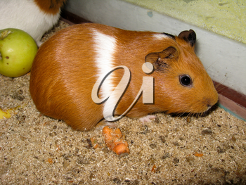 the image of beautiful brown guinea-pig with white strip