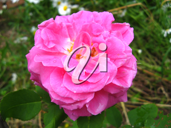 image of beautiful flower of gentle red rose