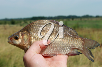 image of caught big crucian in hand
