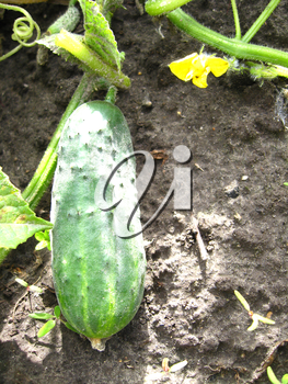 image of fruit of a cucumber on a bed