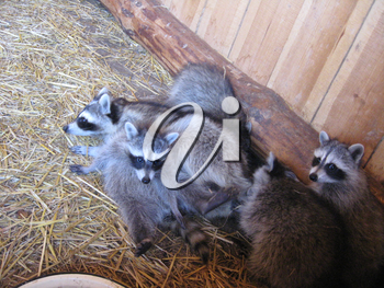The image of brood of grey raccoons
