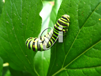 image of caterpillar of the butterfly machaon on the leaf