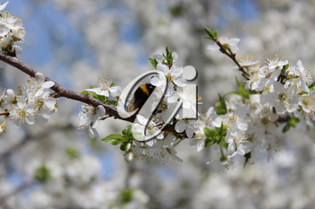 image of bumblebee on the blossoming tree of plum