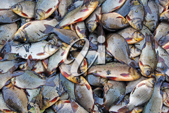 Caught crucians and pikes on green grass. Successful fishing. A lot of crucian carps and pikes. Freshly caught river fishes. Caught fishes after lucky fishing. Crucian carps and pikes