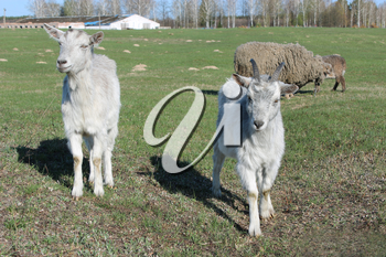 two young goats on the green pasture