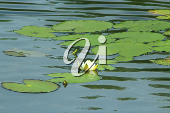 white flower of Nymphaea alba on the surface of pond