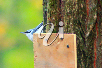 nuthatch on the branch of pine in the forest