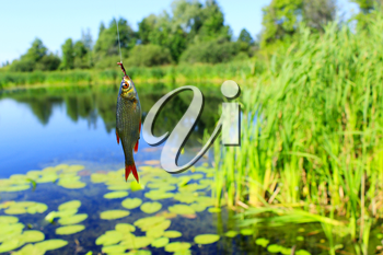 fish caught on the hook on the background of beautiful pond