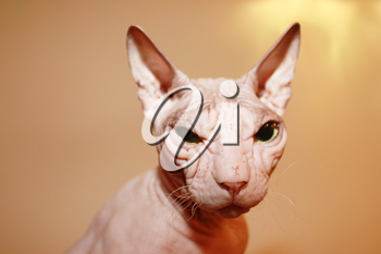 Hairless cat. A wrinkled hairless head of cat. Sphinx white cat.