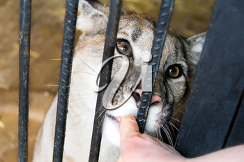 Lioness in the zoo biting human finger