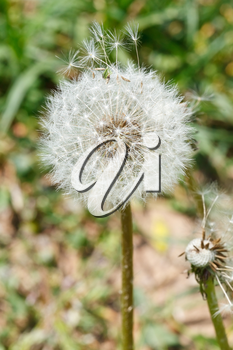 parachutes and seed head of dandelion blowball close up