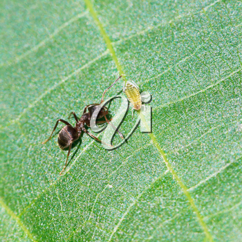 ant tending one aphid on leaf of walnut tree close up