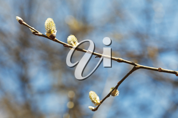 blossoming branch of pussy willow tree with catkins in spring forest