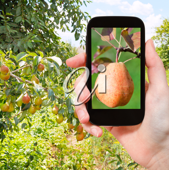 travel concept - tourist takes picture of ripe yellow and red pear on branch in fruit orchard on smartphone,