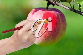 harvesting concept - hand with paintbrush paints red ripe apple in garden