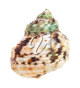 green and brown spotted shell of whelk mollusc isolated on white background