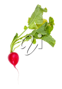fresh organic red radish with greens isolated on white background