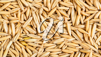 panoramic cereal background - dry seeds of cultivated oat