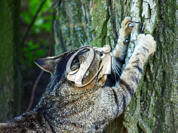 Gray tabby cat sharpening claws on a tree.