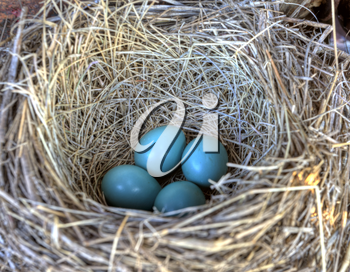 Robins nest in old tractor blue eggs Saskatchewan