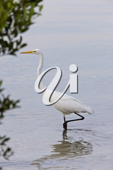Great White Egret wading in Florida waters