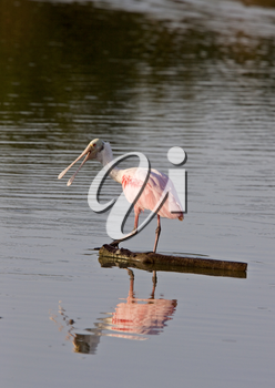 Rosette Spoonbill feeding in Florida waters