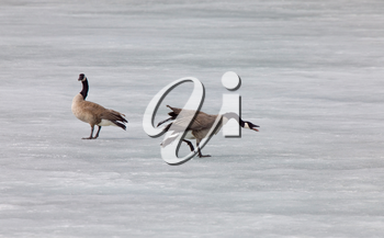 Canada Geese fighting playing on Ice